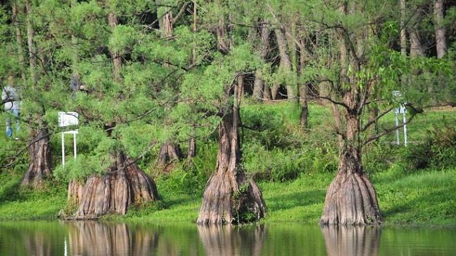 cây gỗ thuỷ tùng